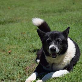 Sunbathing by Nathan  Gardner - Animals - Dogs Portraits ( bordercollie, belle, dog, sunbathing, sun )