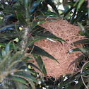Hooded Oriole (nest)
