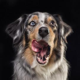 Looking forward for some treat. by Börje Ensgård - Animals - Dogs Portraits ( david bowie eyes, australien shepherd, dog, cute )