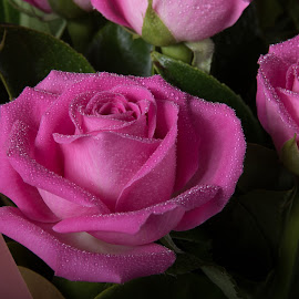 Pink Rose 2 by Simon Hall - Flowers Flower Arangements (  )