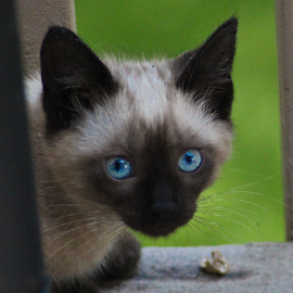 Beautiful Blue-Eyed Curious Stray Kitten by Maureen McDonald - Animals - Cats Kittens ( ky, cat, summer 2015, kitten, summer, backyard, stray, siamese, elsmere, northern kentucky,  )