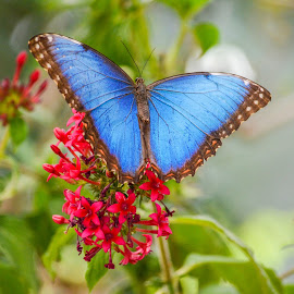 Blue Butterfly by Peter Murnieks - Animals Other ( plant, butterfly, blue, green, outdoor, flower )