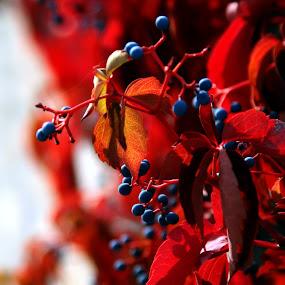 Reddish autumn by Ferhan Mazllami - Nature Up Close Flowers - 2011-2013 ( plant, cranberry, conifer, healthful, forest, leaf, close, berry, macro, red, nature, color, closeup, cowberry )