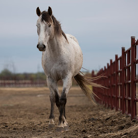 Coming Over by Pete Lambertz - Animals Horses ( walking, pasture, red fence, horse, white horse )