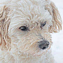 T snowy portrait 5 by B Lynn - Animals - Dogs Portraits ( adorable., outdoor., mutt., white., whites. )