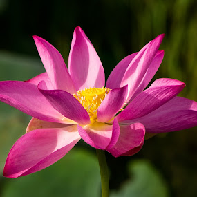 Lotus by Mia Iversen - Nature Up Close Flowers - 2011-2013