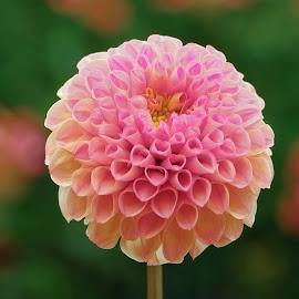 Round garden flower by Jim Downey - Flowers Single Flower ( orange flower, shadow, yellow, petals, pinkish )