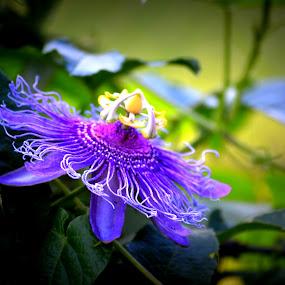 Purple Passion  by Rhonda Kay - Flowers Single Flower