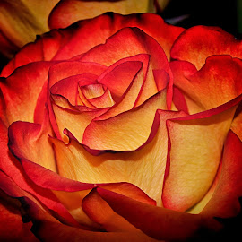 Yellow and Red by Bruce Newman - Flowers Single Flower ( rose, macro photography, single flower, vivid, flowers,  )