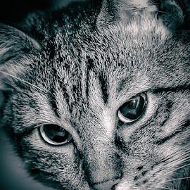 Junior by Jurica Žumberac - Animals - Cats Portraits ( kitten, cat, indoor, black and white, blue, pet, beautiful, cute, friend, portrait, animal, eyes,  )