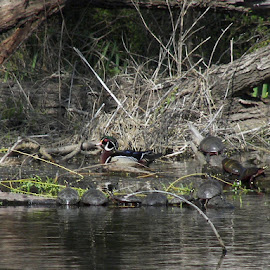 Wood Ducks and Turtles from Loanwaka Brook, N.J. by Jen Henderson - Animals Birds (  )