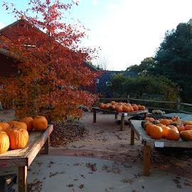 by Sarah Brown - Artistic Objects Still Life ( #newengland, #farmstand, #pumpkinsforsale, #foliage, #firetree, #fall )