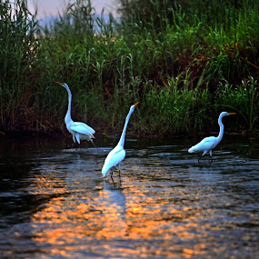Egrets at sunrise by Cristobal Garciaferro Rubio - Nature Up Close Water ( water, reflection, great egreat. egret )