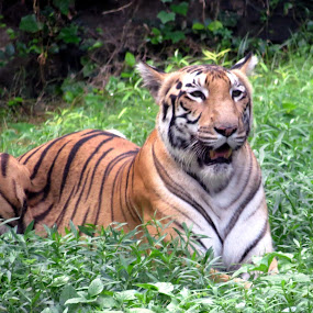 Royal Bengal. by Anumita Das - Novices Only Wildlife ( wild, tiger, royal bengal., animal )