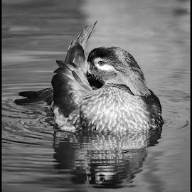 Wood Duck by Dave Lipchen - Black & White Animals ( wood duck )