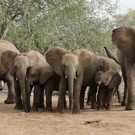 Elephant Family by Judy Patching - Novices Only Wildlife ( animals, nature, family, elephant, wildlife )