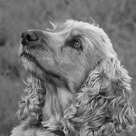 Spaniel in Mono by Chrissie Barrow - Black & White Animals ( monochrome, black and white, cocker spaniel, pet, ears, fur, grey, dog, mono, nose, portrait, eye, animal )