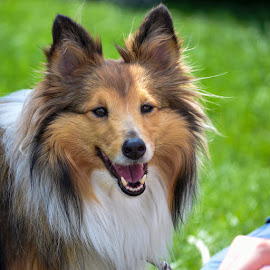 Dog Portrait by Gabor Kallos - Animals - Dogs Portraits ( sheltie, brown eyes, happy dog, dog, dog portrait )