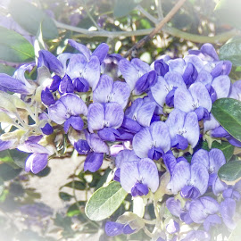 Texas Mountain Laurel by Dawn Hoehn Hagler - Flowers Tree Blossoms ( texas mountain laurel, purple, tree blossoms, purple flowers, arizona, tucson, flowers )