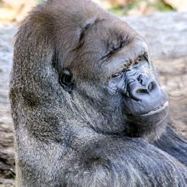 Make My Day by David Walters - Animals Other ( zoo, lumix, gorilla, portrait, animal )