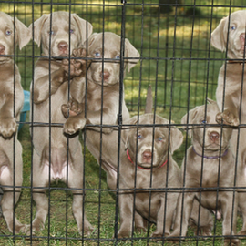 by Dave Hollub - Animals - Dogs Puppies (  )