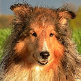 After a Summer Rain by Tim Hall - Animals - Dogs Portraits ( wet dog, shetland sheepdog, sheltie,  )