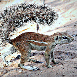 Tail-Shade by Pieter J de Villiers - Animals Other