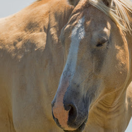 Demure by Sheen Deis - Animals Horses ( animals, nature, pets, horse, blond )