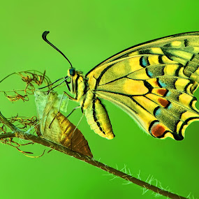 Butterfly by Pande Putu Krisna Wedana - Animals Insects & Spiders