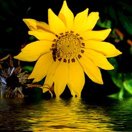 yellow gazania by LADOCKi Elvira - Digital Art Things ( nature, flowers.garden )