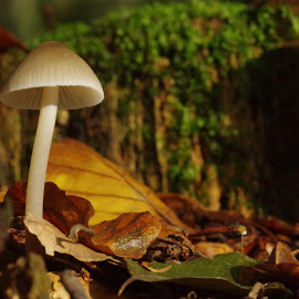 by Michael de Schacht - Nature Up Close Mushrooms & Fungi ( fungi, autumn, forest )