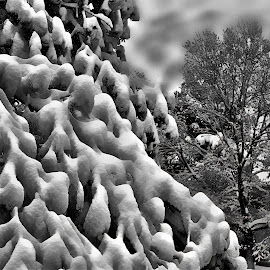 Snow in the trees by Bruce Newman - Black & White Landscapes ( clouds, black and white, snow, trees,  )