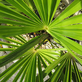 Bird's Eye View of Palm by Angie Keverne - Novices Only Flowers & Plants ( plant, palm, green, garden, pot )