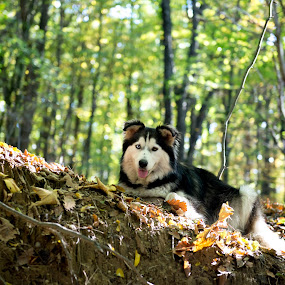 Blue Eye, Brown Eye by Andreea Alexe - Animals - Dogs Portraits ( natural light, one blue eye, roots, forest, stray, leaves, one brown eye, sun rays, color, autumn, sunny, outdoor, husky, trees, dog, dirt, friend,  )