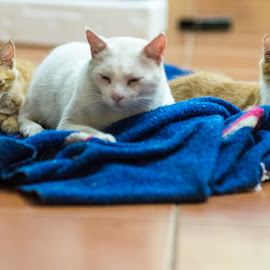family set.. a tomcat and 2 kittens by Annette Flottwell - Animals - Cats Kittens ( cats, tritych, kittens, relaxing )