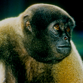 Monkey Face by Rob Kovacs - Novices Only Wildlife