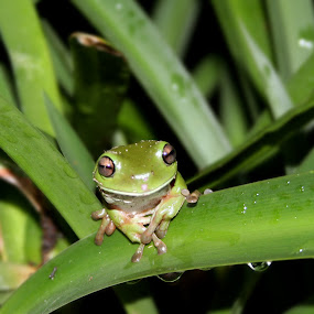 Meet Barnaby... by Ty Hanson - Animals Amphibians ( green tree frog photo amphibians )