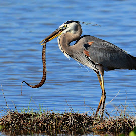 Heron catching lunch by Ruth Overmyer - Animals Birds (  )