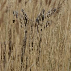 Peek a boo by Steve Adams - Animals Other Mammals ( red deer, antlers, stag, deer )