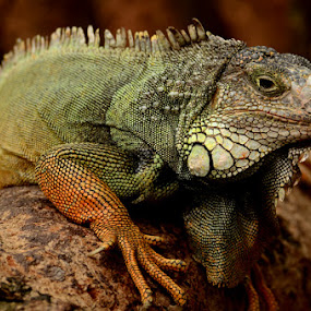 by Kresnata Adijaya - Animals Reptiles