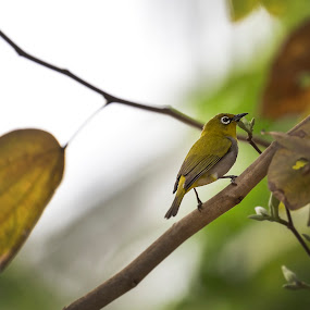 Oriental White Eye by Shovan Sam - Animals Birds ( canon )