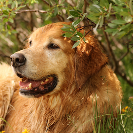 Taking a Break by Kari Schoen - Animals - Dogs Portraits ( canine, mountains, resting, colorado, dog, hiking, golden retriever )