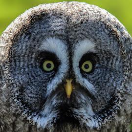 Great grey owl by Andrew Lancaster - Animals Birds ( bird, predator, owl, great grey, feathers )
