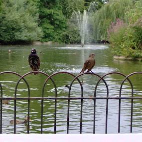 birdies by Jarno Liimatainen - Animals Birds ( water, animals, park, london, birds )