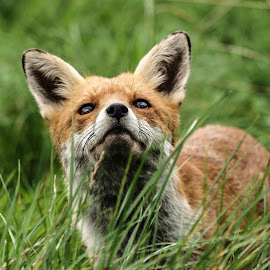 Curious fox by Garry Chisholm - Animals Other Mammals ( canine, garry chisholm, nature, wildlife, mammal, red fox )