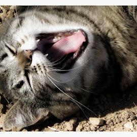 I need my nap! by Leslie Hunziker - Animals - Cats Portraits ( cats, animals, sleepy, yawn )