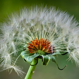 Abanico by Jomabesa Jmb - Flowers Single Flower ( naturaleza, molinillo, flor )
