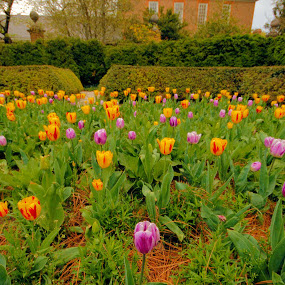 Spring in Williamsburg by Jim Schlett - Flowers Flower Gardens ( williamsburg, tulips, flowers, spring, garden,  )