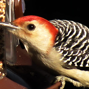 My little Red-Belly by Nancy Sadowski - Animals Birds ( red, sharp, woodpecker, feeder )