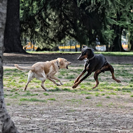 by Carlo Chiesa - Animals - Dogs Playing